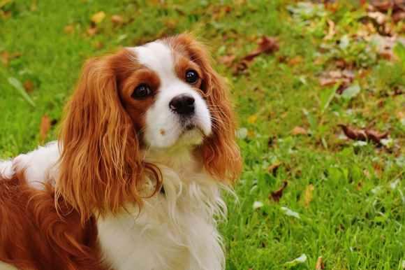 dog-cavalier-king-charles-spaniel-funny-pet-162193.jpeg