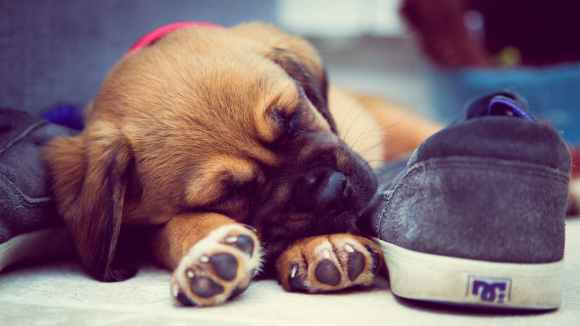 short coated brown puppy sleeping beside grey dc skate shoe