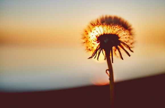 sunset flower shadow dandelion