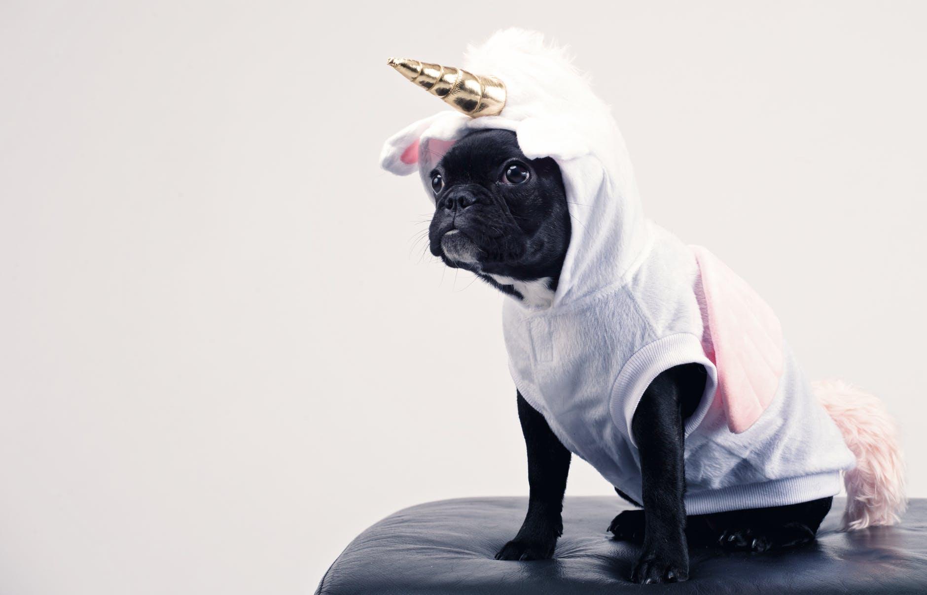 boston terrier wearing unicorn pet costume