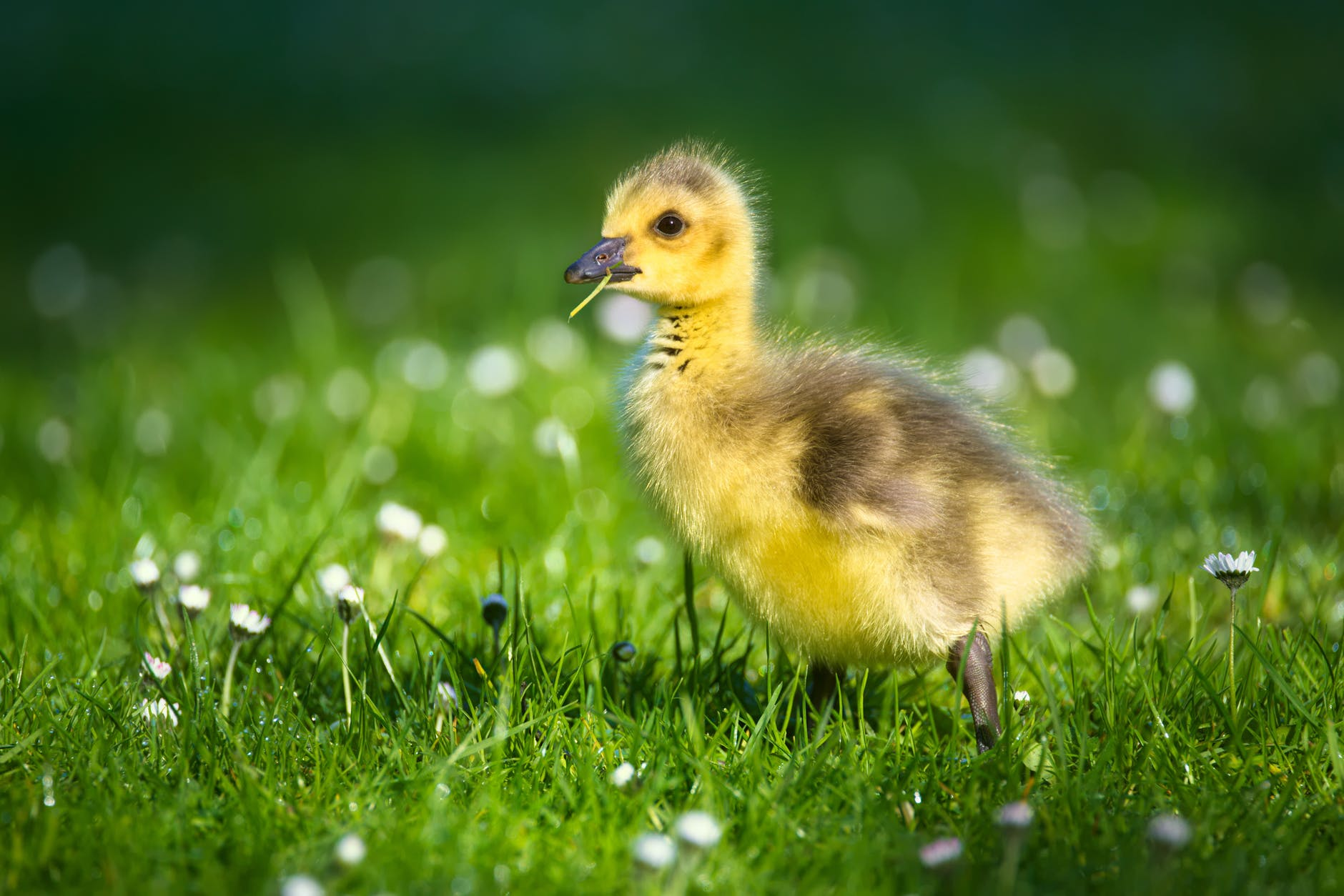 animal animal world close up duckling