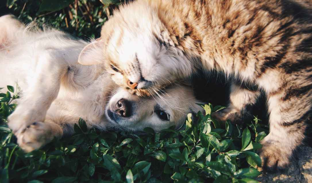 orange tabby cat beside fawn short coated puppy