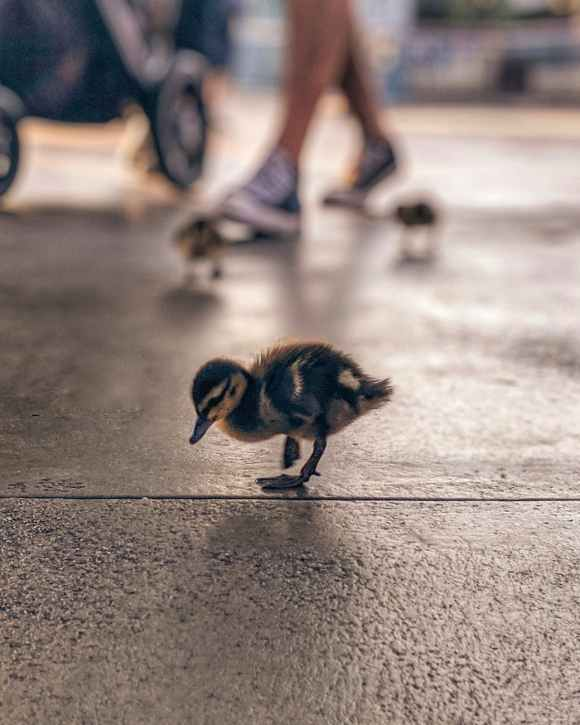 black and brown duckling on concrete floor
